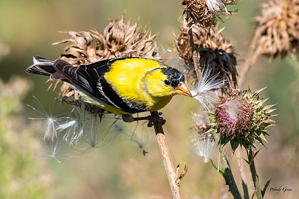 Woody's Wildlife, Nature and Other Stuff 2019-goldfinch-482.jpg