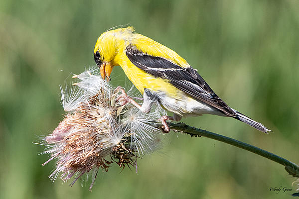 Woody's Wildlife, Nature and Other Stuff 2019-goldfinch-483.jpg