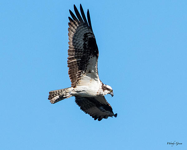 Woody's Wildlife, Nature and Other Stuff 2019-ospreyflight-400.jpg