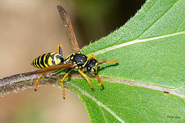 Woody's Wildlife, Nature and Other Stuff 2019-wasp-420.jpg