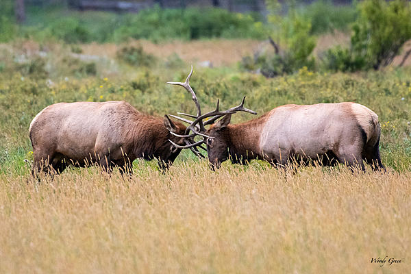 Woody's Wildlife, Nature and Other Stuff 2019-elkfaceoff-401.jpg