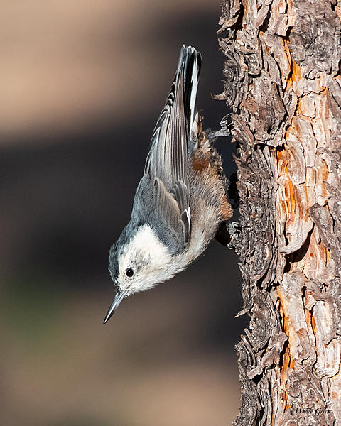 Woody's Wildlife, Nature and Other Stuff 2019-wbnuthatch-400.jpg