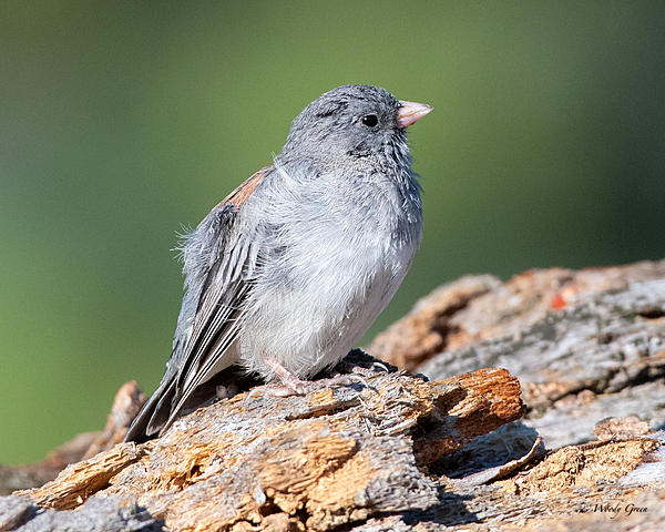 Woody's Wildlife, Nature and Other Stuff 2019-junco-410.jpg