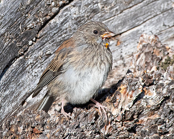 Woody's Wildlife, Nature and Other Stuff 2019-junco-411.jpg