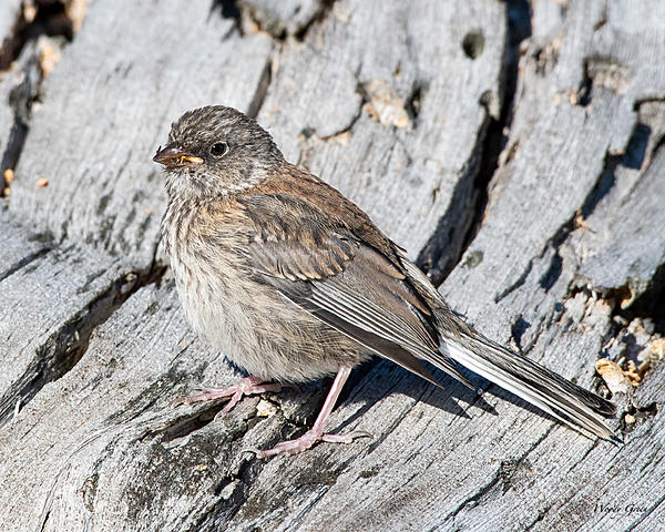 Woody's Wildlife, Nature and Other Stuff 2019-junco-412.jpg