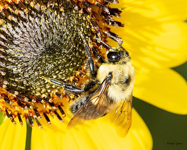 Woody's Wildlife, Nature and Other Stuff 2019-bee-420.jpg