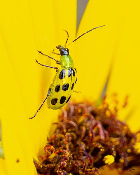 Woody's Wildlife, Nature and Other Stuff 2019-spottedcucumber-400.jpg