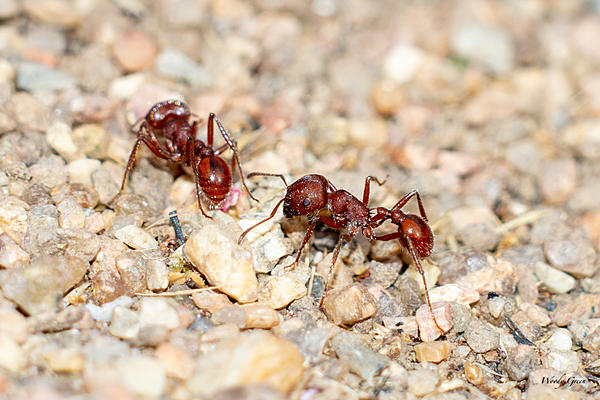 Woody's Wildlife, Nature and Other Stuff 2019-redants-400.jpg