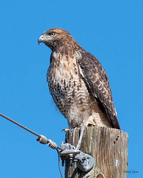 Woody's Wildlife, Nature and Other Stuff 2019-redtail-408.jpg