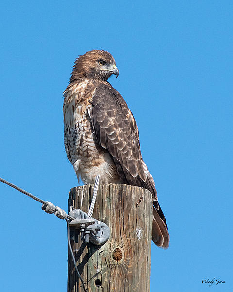 Woody's Wildlife, Nature and Other Stuff 2019-redtail-409.jpg