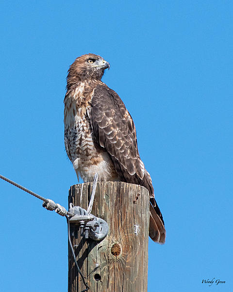 Woody's Wildlife, Nature and Other Stuff 2019-redtail-410.jpg