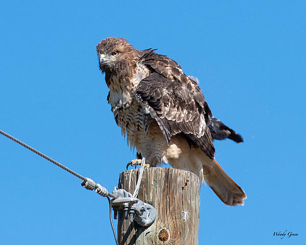 Woody's Wildlife, Nature and Other Stuff 2019-redtail-411.jpg