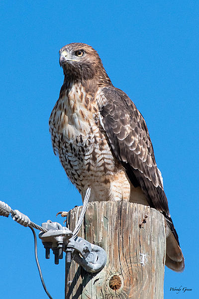 Woody's Wildlife, Nature and Other Stuff 2019-redtail-412.jpg