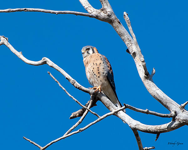 Woody's Wildlife, Nature and Other Stuff 2019-kestrel-405.jpg