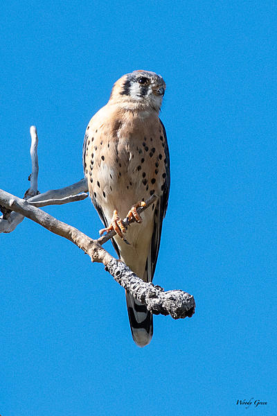Woody's Wildlife, Nature and Other Stuff 2019-kestrel-406.jpg
