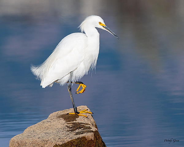 Woody's Wildlife, Nature and Other Stuff 2019-snowy-440.jpg