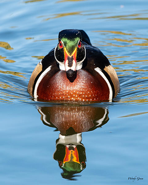 Woody's Wildlife, Nature and Other Stuff 2019-woodduck-401.jpg