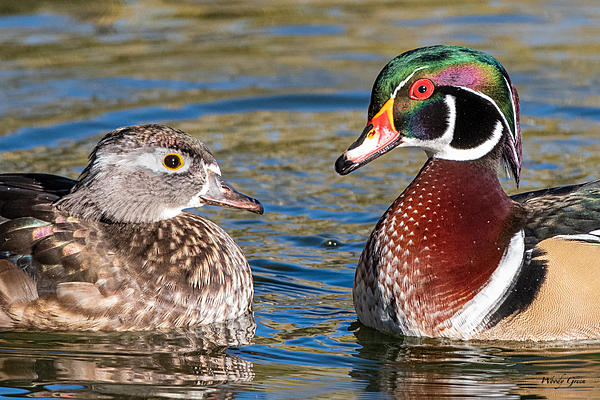 Woody's Wildlife, Nature and Other Stuff 2019-woodduckpair-400.jpg