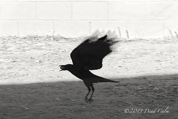 Dawg Pics' New Adventures of the D500 (and maybe the D300)-backlit-crow-2-500_0011.jpg
