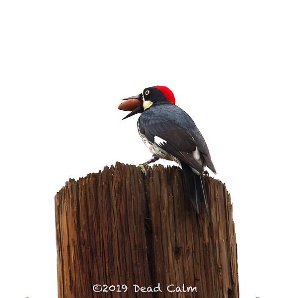 Dawg Pics' New Adventures of the D500 (and maybe the D300)-acorn-woodpecker-fb-500_0684.jpg