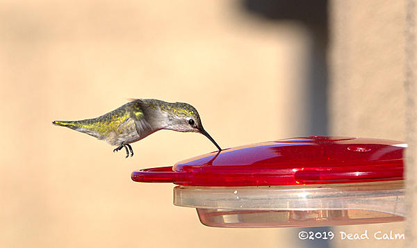 Dawg Pics' 2020: No more croppy photos.-hummingbird-fb-500_0963.jpg