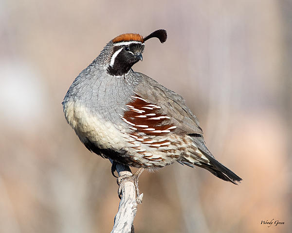Woody's 2020 Adventure-quail-500.jpg