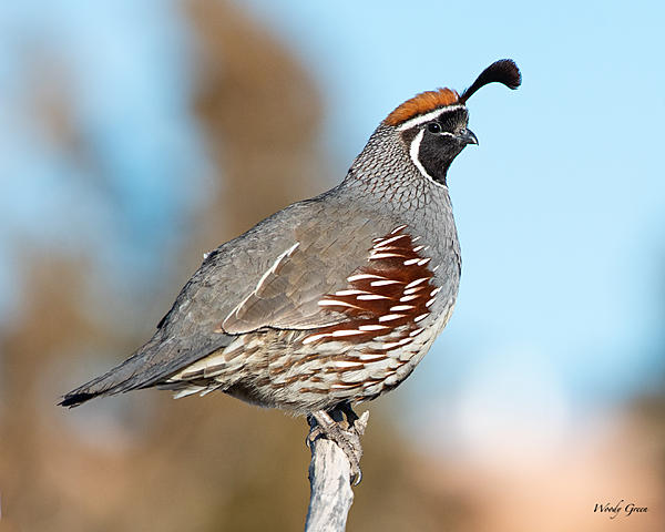 Woody's 2020 Adventure-quail-501.jpg