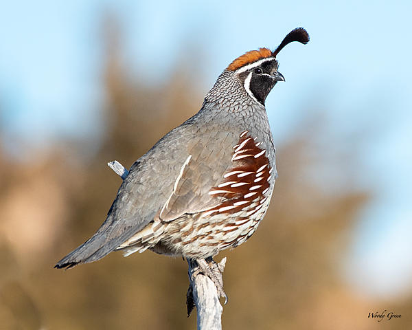 Woody's 2020 Adventure-quail-503.jpg