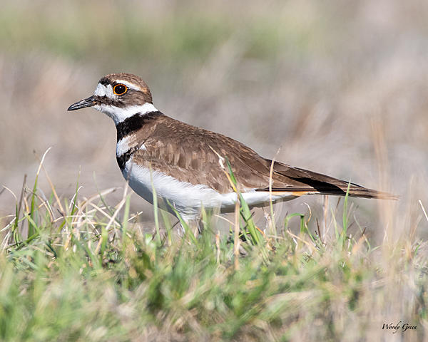 Woody's 2020 Adventure-killdeer-502.jpg