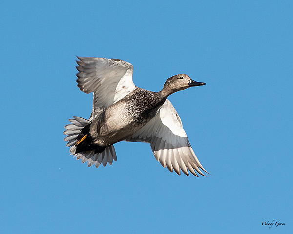 Woody's 2020 Adventure-gadwall-500.jpg