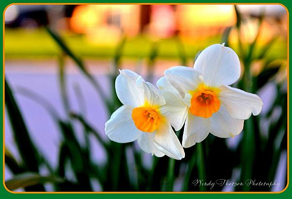 Project 254 Wendy's Wonders-two-spring-daffodils-2013.jpg