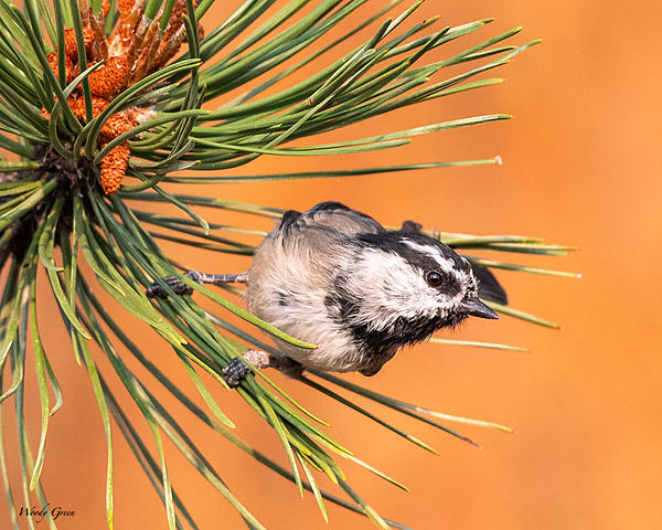 Woody's 2020 Adventure-mountainchickadee-550.jpg
