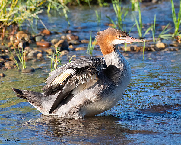 Woody's 2020 Adventure-merganser-501.jpg