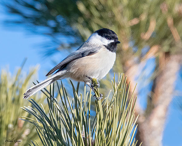 Woody's 2021 Photon Quest-chickadee-746.jpg