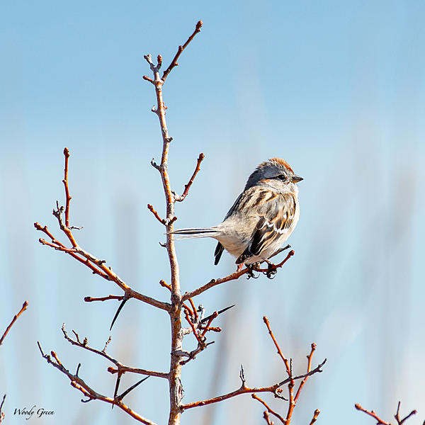 Woody's 2021 Photon Quest-treesparrow-790.jpg