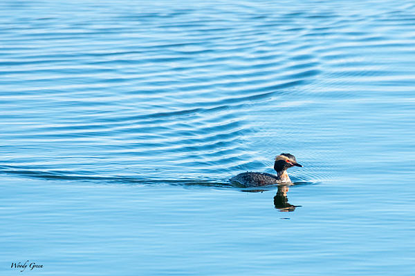 Woody's 2021 Photon Quest-hornedgrebe-817.jpg
