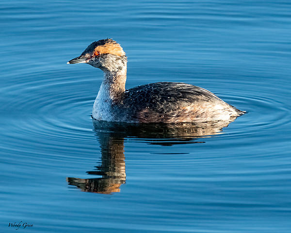 Woody's 2021 Photon Quest-hornedgrebe-819.jpg