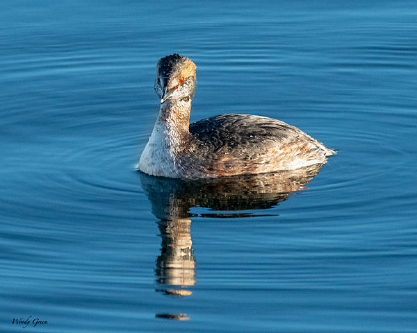 Woody's 2021 Photon Quest-hornedgrebe-820.jpg