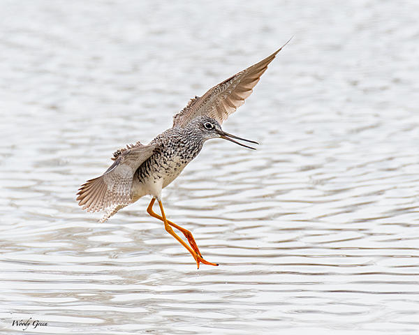 Woody's 2021 Photon Quest-greateryellowlegs-824.jpg
