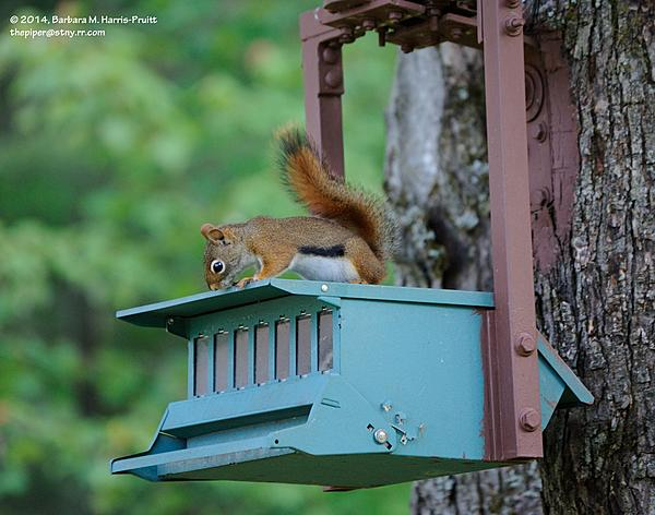 Piperbarb's 2014 Project 365-169-red-squirrel-140618-03_01.jpg