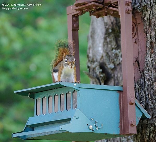 Piperbarb's 2014 Project 365-169-red-squirrel-140618-04_01.jpg