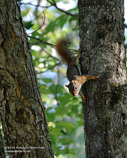 Piperbarb's 2014 Project 365-169-red-squirrel-140618-05_01.jpg