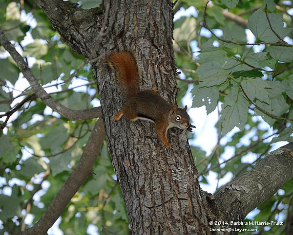 Piperbarb's 2014 Project 365-169-red-squirrel-140618-06_01.jpg