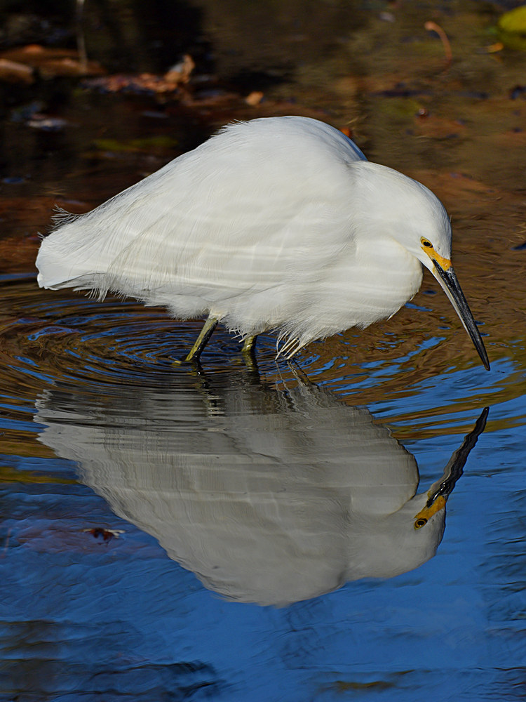 wev's What? Again? 366/2016-egret4.jpg