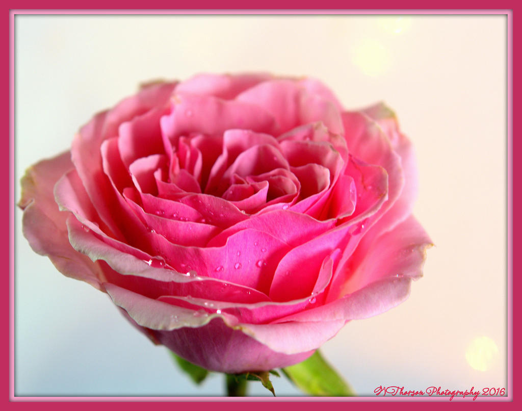 Wendy's 366 in 2016-pink-rose-1-1-2016.jpg