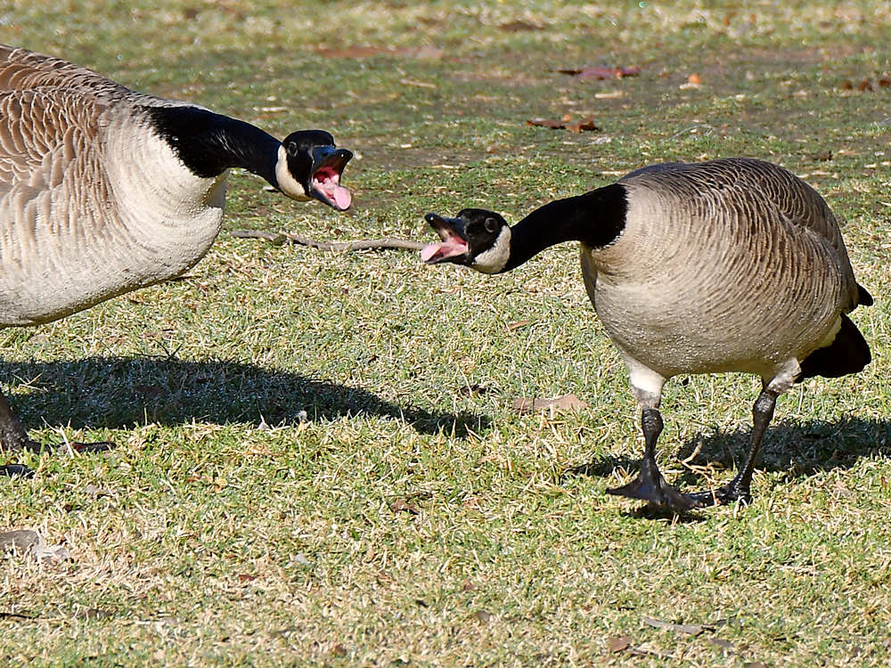 """wev's """"whose idea was this anyway?"""" 365 for 2017-geese2.jpg"""