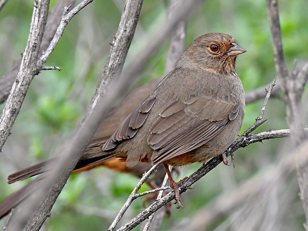 "wev's ""whose idea was this anyway?"" 365 for 2017-towhee.jpg"