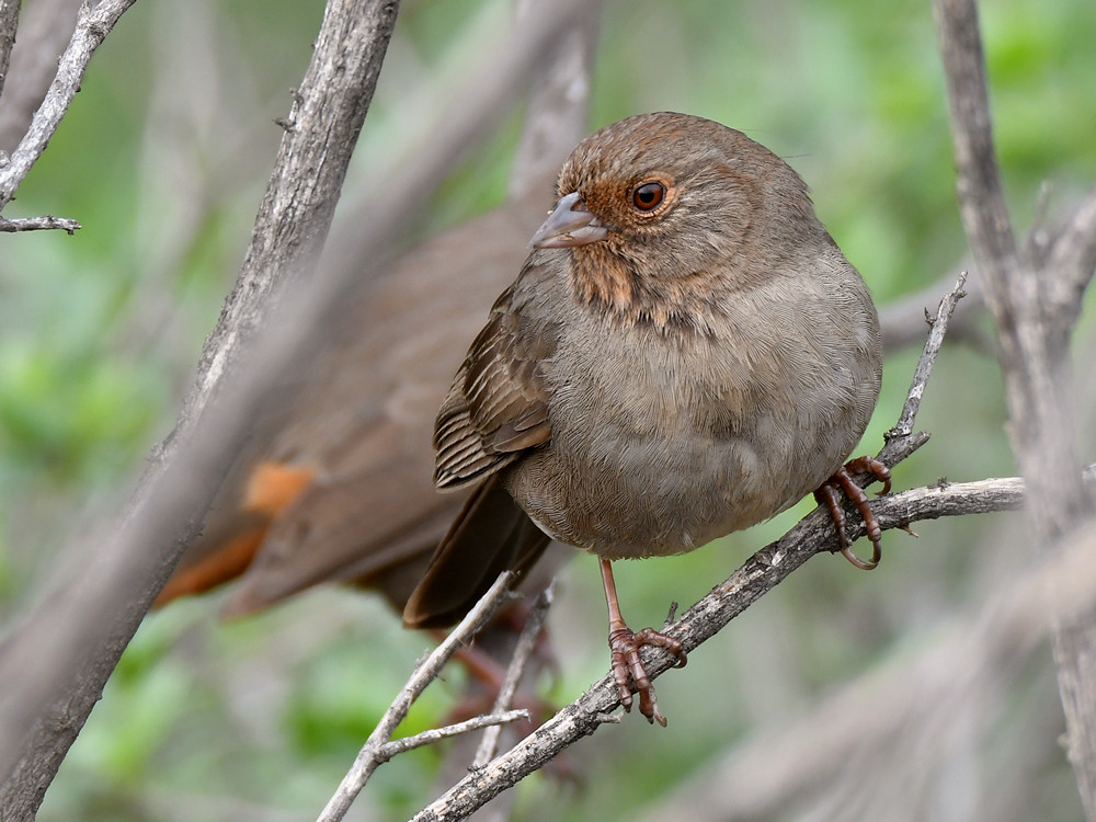 "wev's ""whose idea was this anyway?"" 365 for 2017-towhee2.jpg"