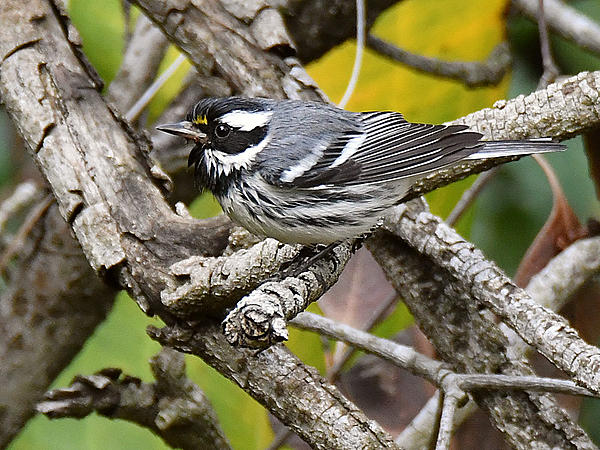 """wev's """"whose idea was this anyway?"""" 365 for 2017-graywarbler2.jpg"""