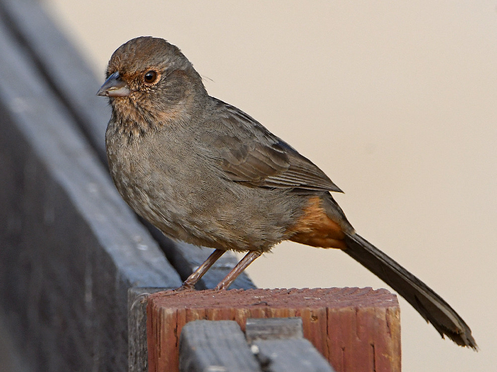 """wev's """"whose idea was this anyway?"""" 365 for 2017-towhee2.jpg"""